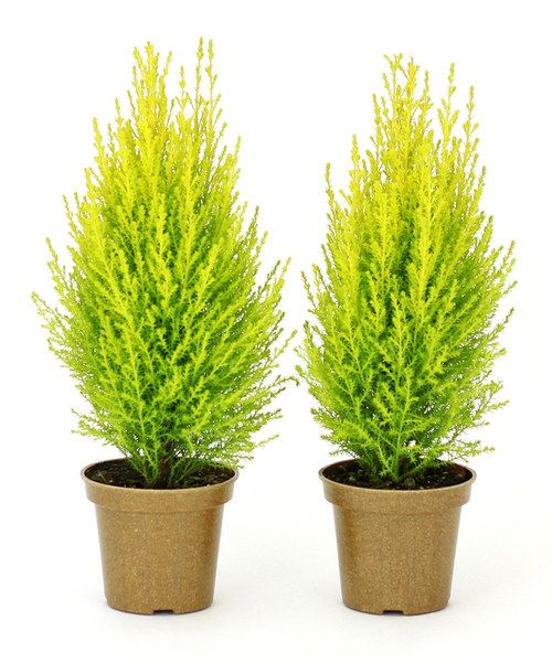 Take a look at the Lemon Cypress Cone Plant - Set of Two on #zulily today!