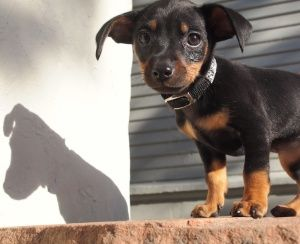 Adopt Lulu On Dogs Miniature Pinscher Pets