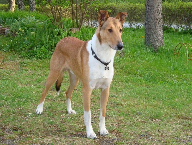 Offspring Collie Smooth Aapo Dog Breeds Medium Dog Breeds Smooth Collie