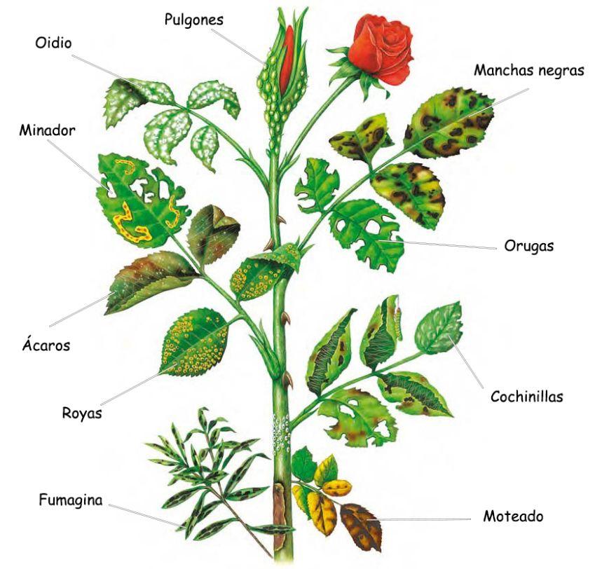 Enfermedades y plagas rosales vivero las palmas - Rosales en macetas ...