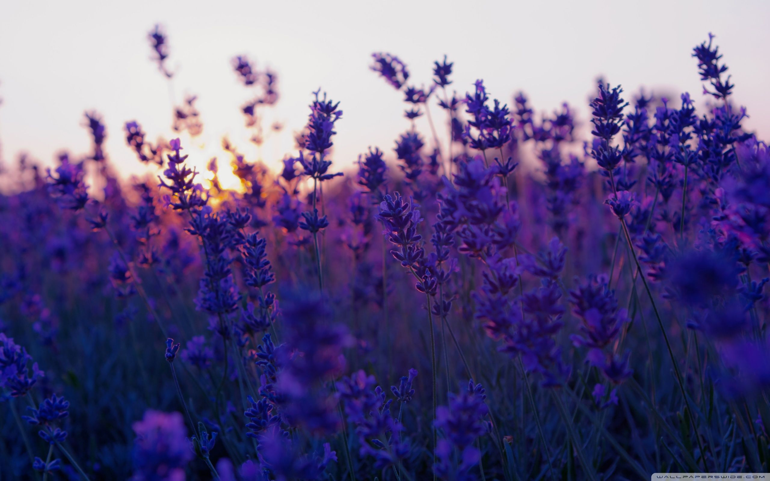 Lavender Flowers Background Hd Wallpaper Background Images With