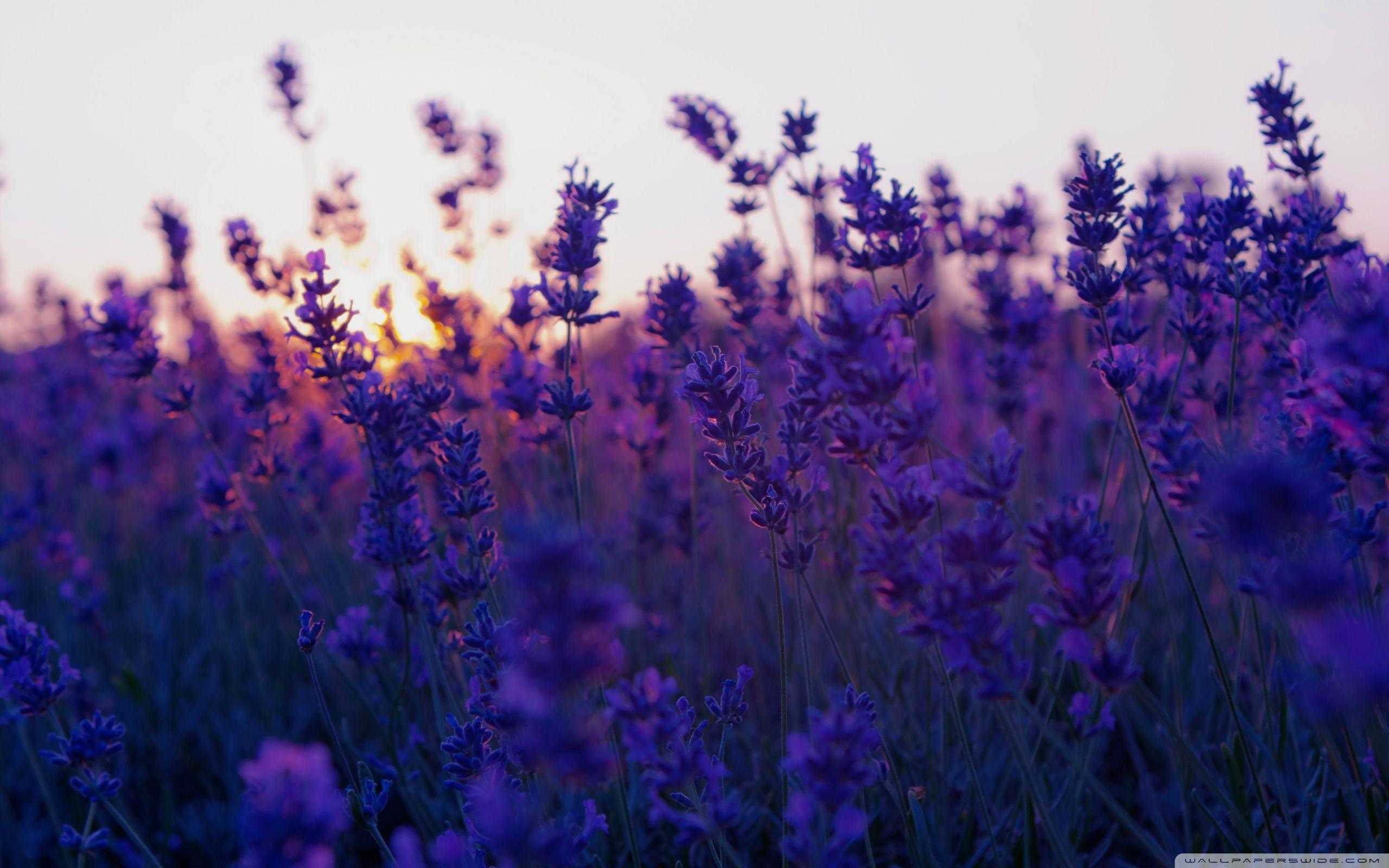 Lavender Fields Wallpaper Sunset Hd Desktop Wallpaper