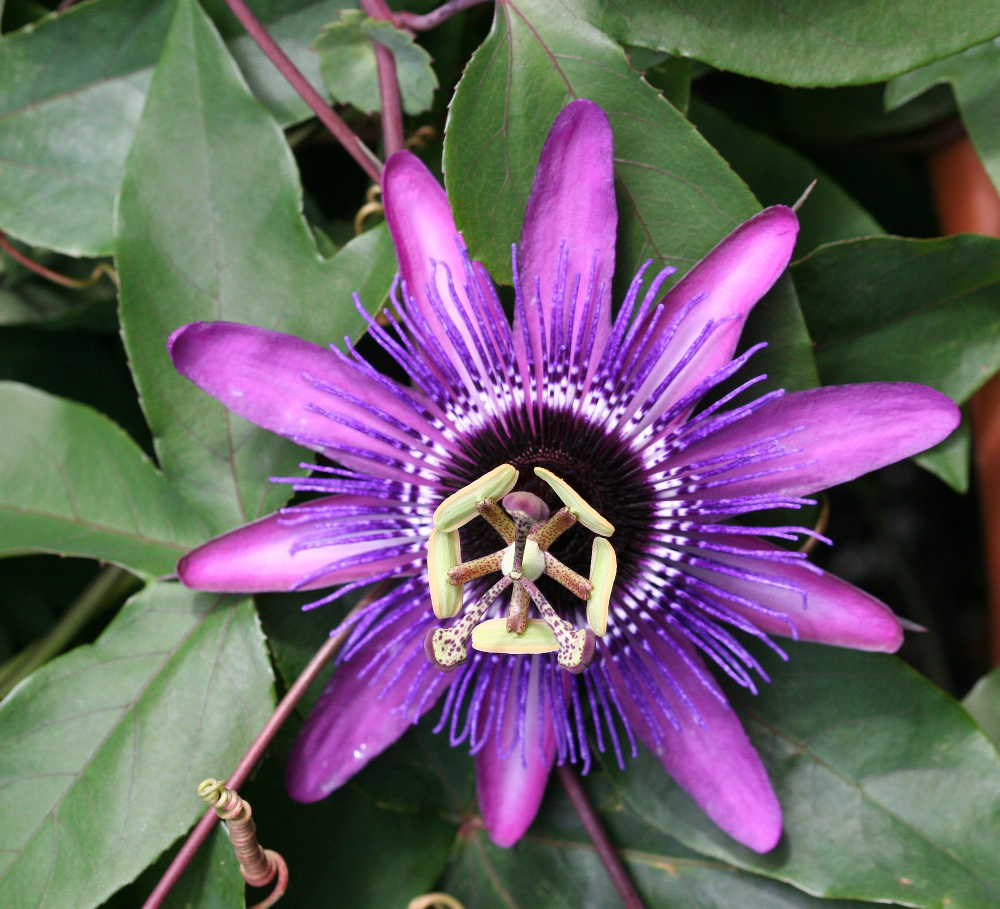 Passiflora Monika Fischer Blue Passion Flower Heirlooms Flowers Passion Flower