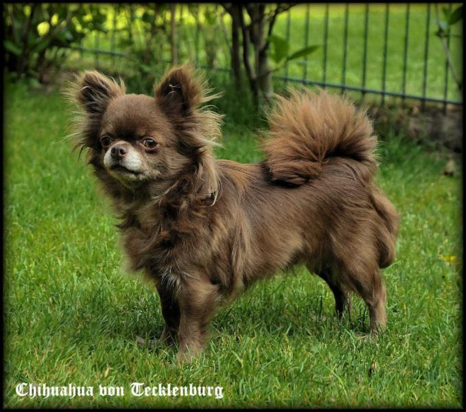 Schoko Chihuahua Hundin Chihuahua Hund Chihuahua Teacup Chihuahua