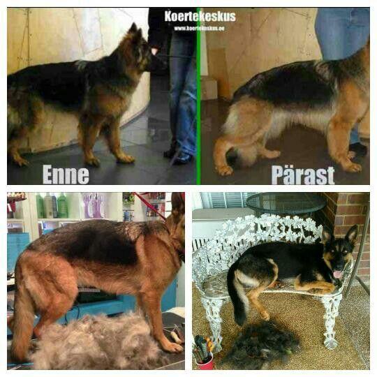 Grooming Gsd Animals German Shepherd