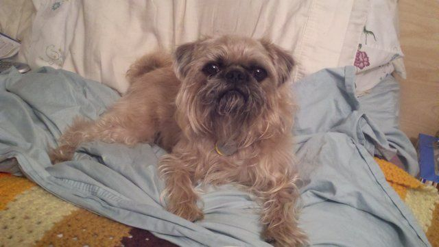 Monkey Is A Brussels Griffon And Pug Mix A Brug Classic