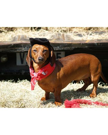 I M An Old Cowhand From The Rio Grande Fashion Pets 2011 Photo Contest Pet Pets Wiener Dog Pet Photo Contest