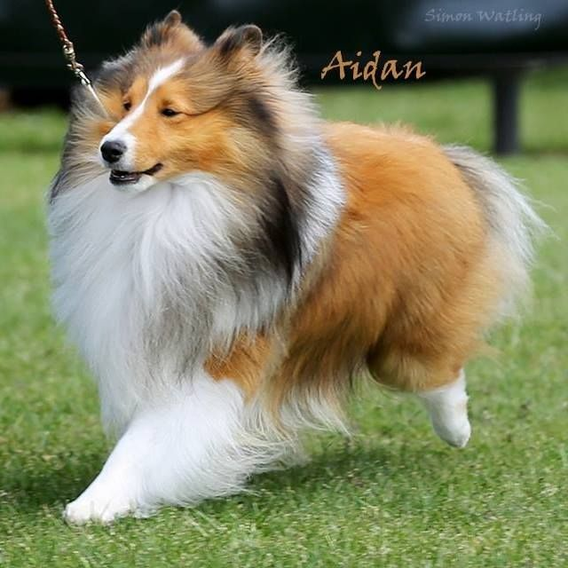 Aidan Best In Show Australia Sheltie Puppies For Sale Sheltie Puppy Collie Puppies For Sale