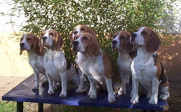 Beagle Puppies For Sale Nz Zoe Fans Blog Beagle Puppy Puppies