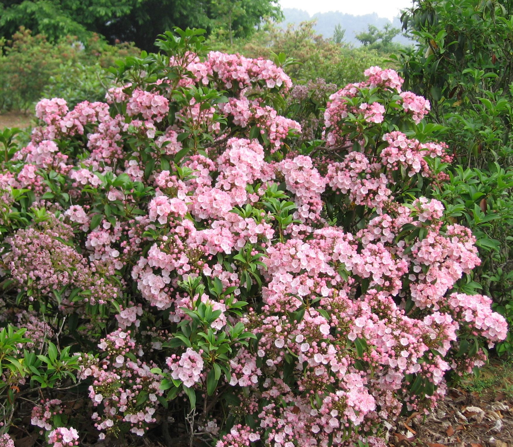 Kalmia Latifolia 'carol'  Google Search · Kalmia Latifoliashrubs