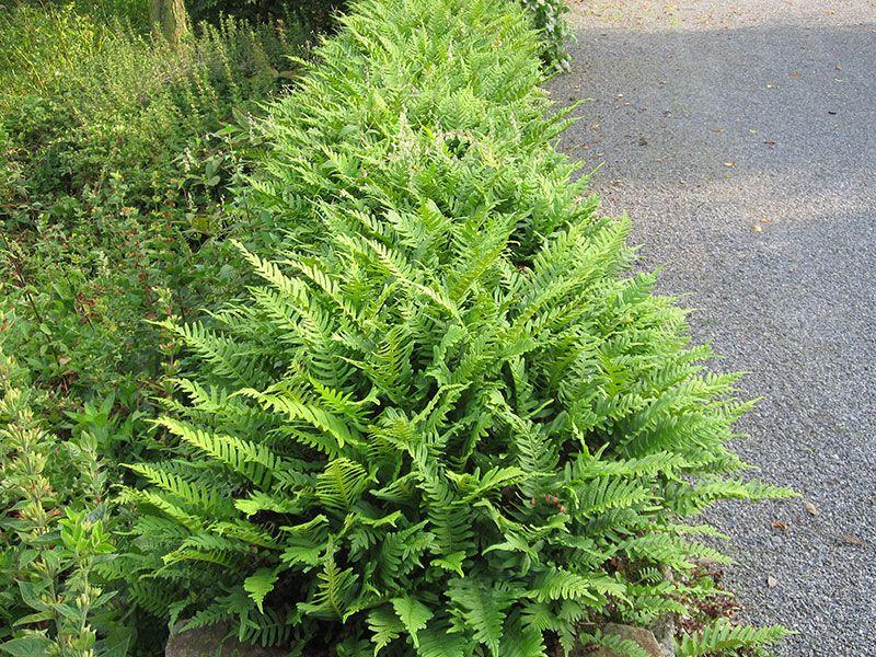 Gaissmayer Stauden polypodium vulgare tüpfelfarn http pflanzenversand