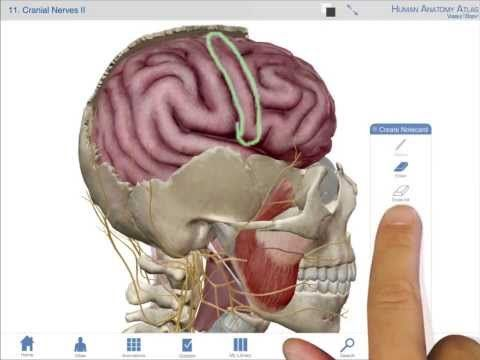 Visible Body: Human Anatomy Atlas. Interactive 3D guide to all body ...