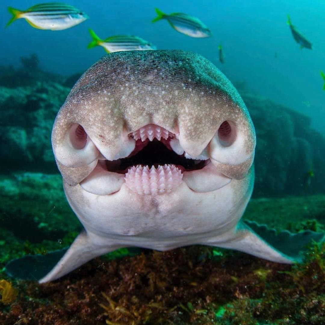 What Kind Of Shark Does This Mouth Belong To A Zebra Shark B Nurse Shark C Port Jackson Shark Aloha Ocean Creatures Deep Sea Creatures Cute Animals