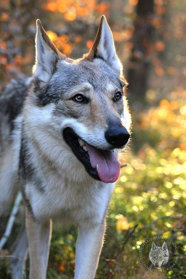 Sibirische Wolfshund