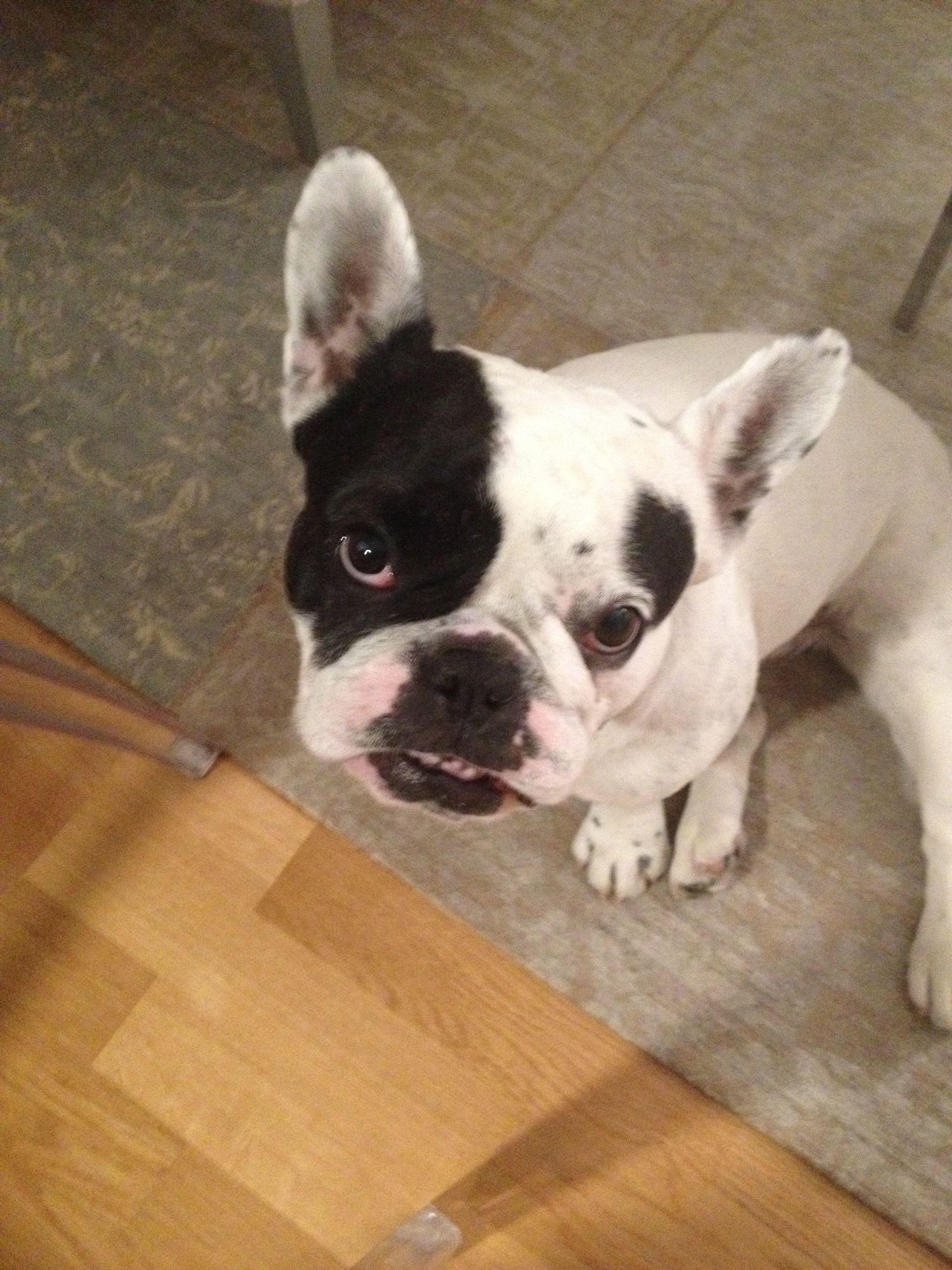 Dif If My Scawwy Face French Bulldog Bulldog French Bulldog