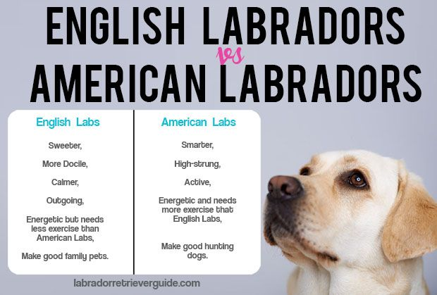 The Difference Between English Labradors And American Labradors Table English Labrador American Labrador Labrador Retriever Facts