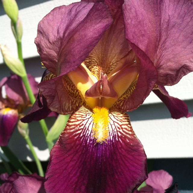 My purple irises are blooming early this year! LOVE!