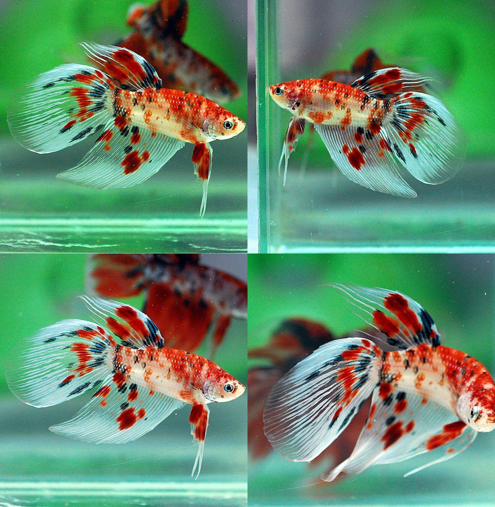 Fwbettasvt1476019430 koi vt003 male home fish betta for Male koi fish