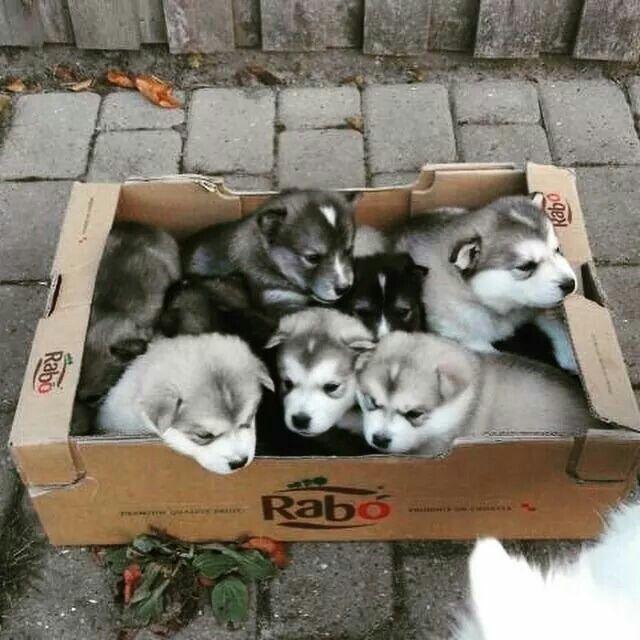 Alaskan Malamute Puppies Susse Tiere Niedliche Tierbabys