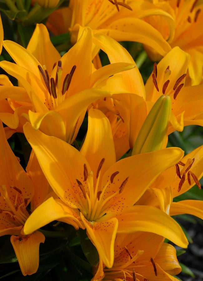 ✯ Glorious Bright Gold Lilies