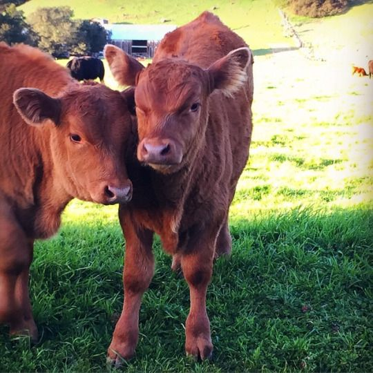 These moo moos are angry | Cute moo cows and other animals | Cattle