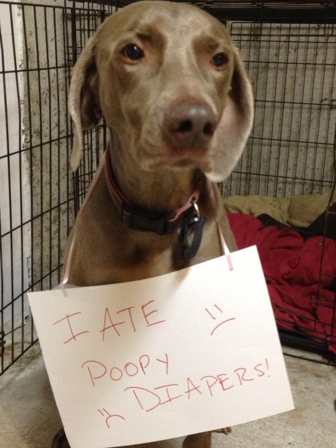 I Ate Poopy Diapers Dog Shaming Funny Animal Shaming Dog Shaming