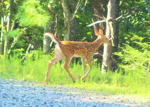Whitetail Fawn Running Away 3 by Cathy Lindsey  #cathy #Fawn #Lindsey #running #Whitetail
