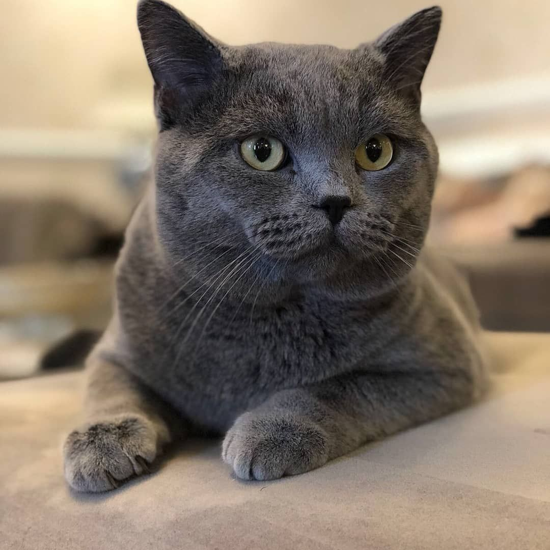 Chartreux Chaton Male Chartreux Donne Chaton Type Chartreux Villaviedebie