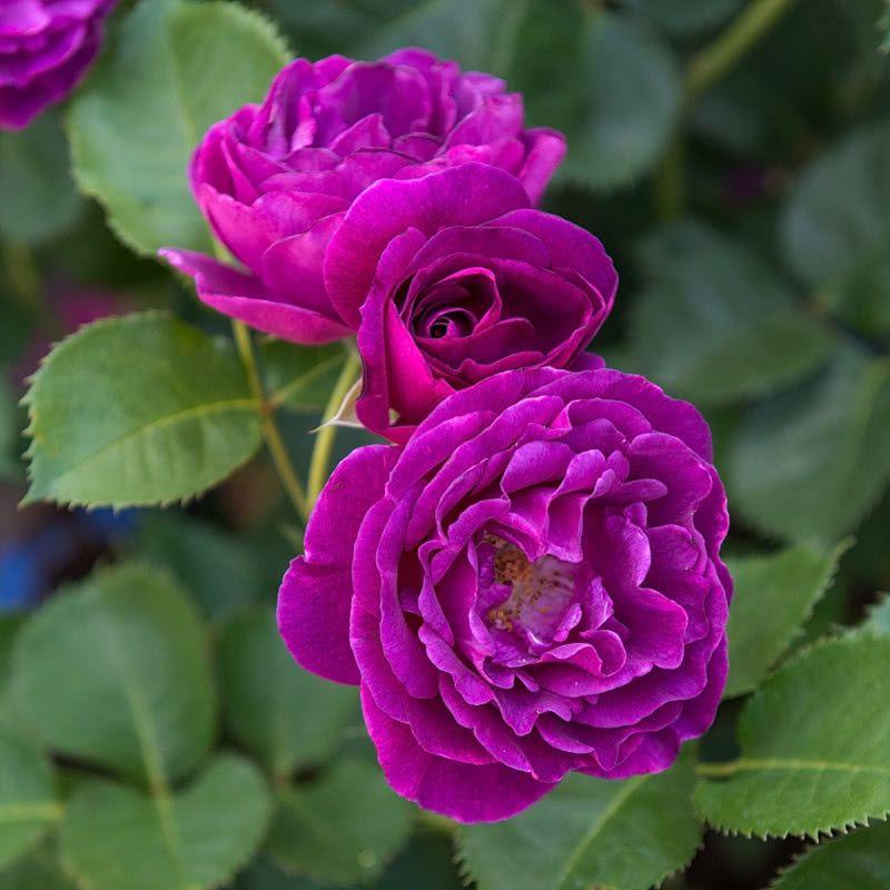 Krzewy Ozdobne Do Ogrodu Katalog Roslin Zielony Ogrodek Plants Flowers Rose