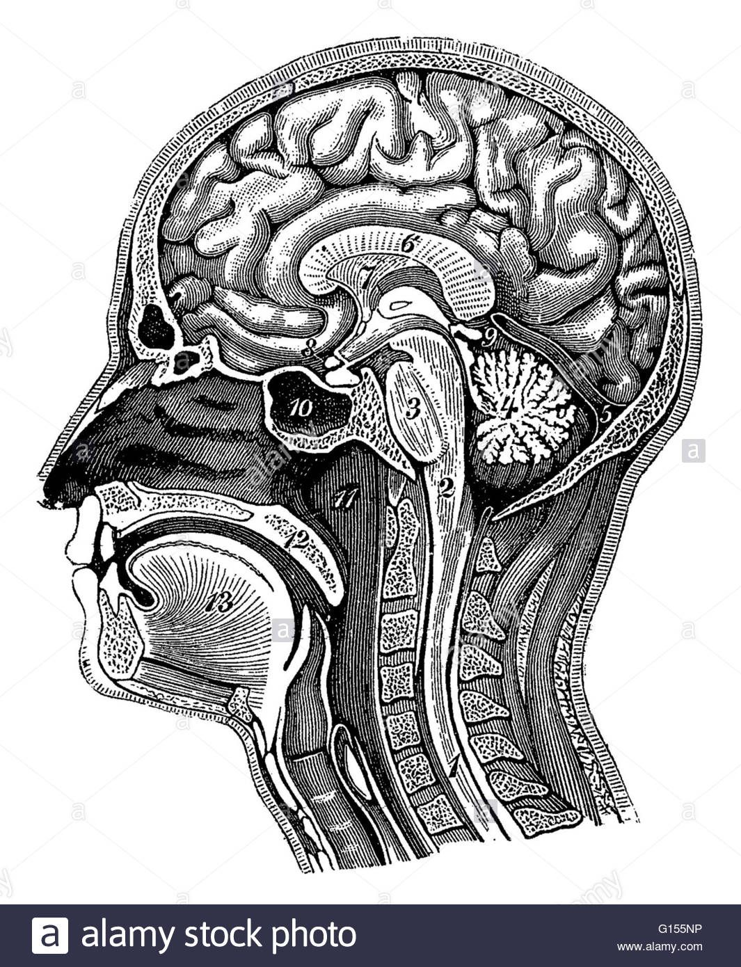 Illustration Of A Cross Section Of The Head Showing The