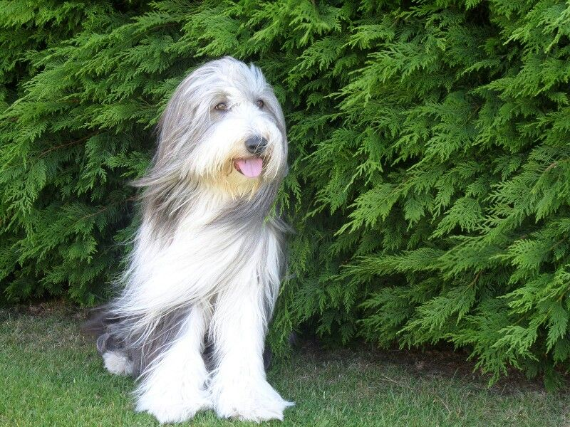 Dylan Our Beautiful Beardie Collie Bearded Collie Collie Herding Dogs