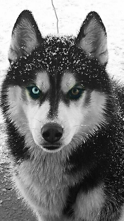 Puppy Husky Siberian ; Puppy Husky