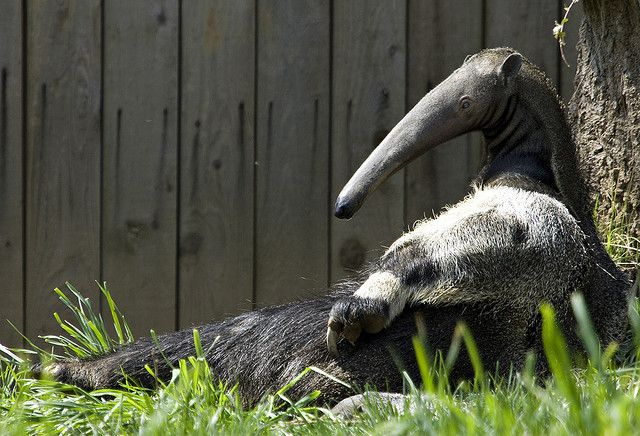 National Zoo's Baby Giant Anteater: It's a boy! | Flickr - Photo Sharing!