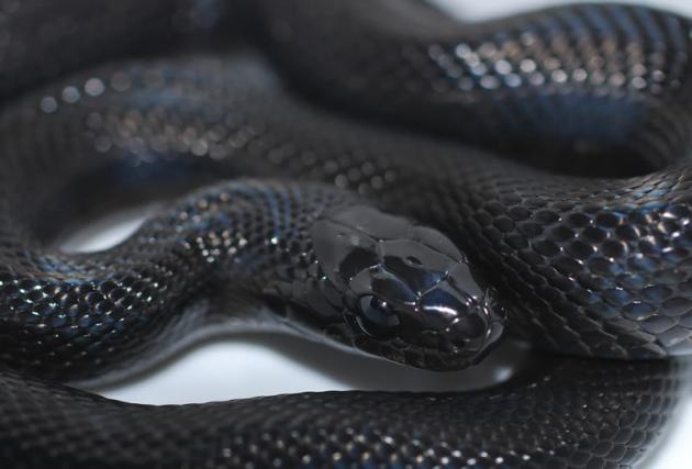 Que Es El Melanismo 8 Espectaculares Animales Negros Melanismo Animales Negros Serpiente Mascota