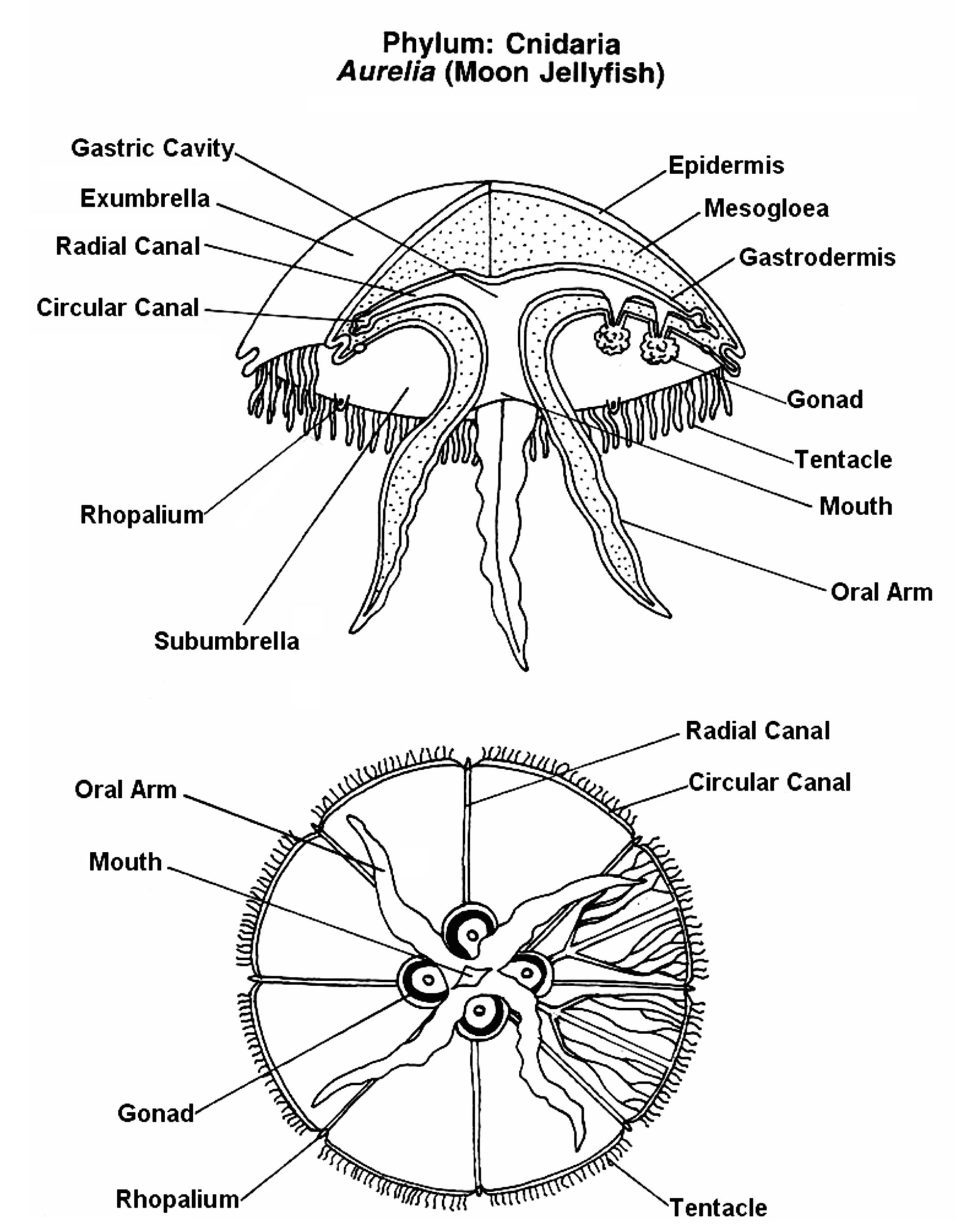 small resolution of jellyfish body parts enlarge and then look at the labelled diagram of a similar jellyfish