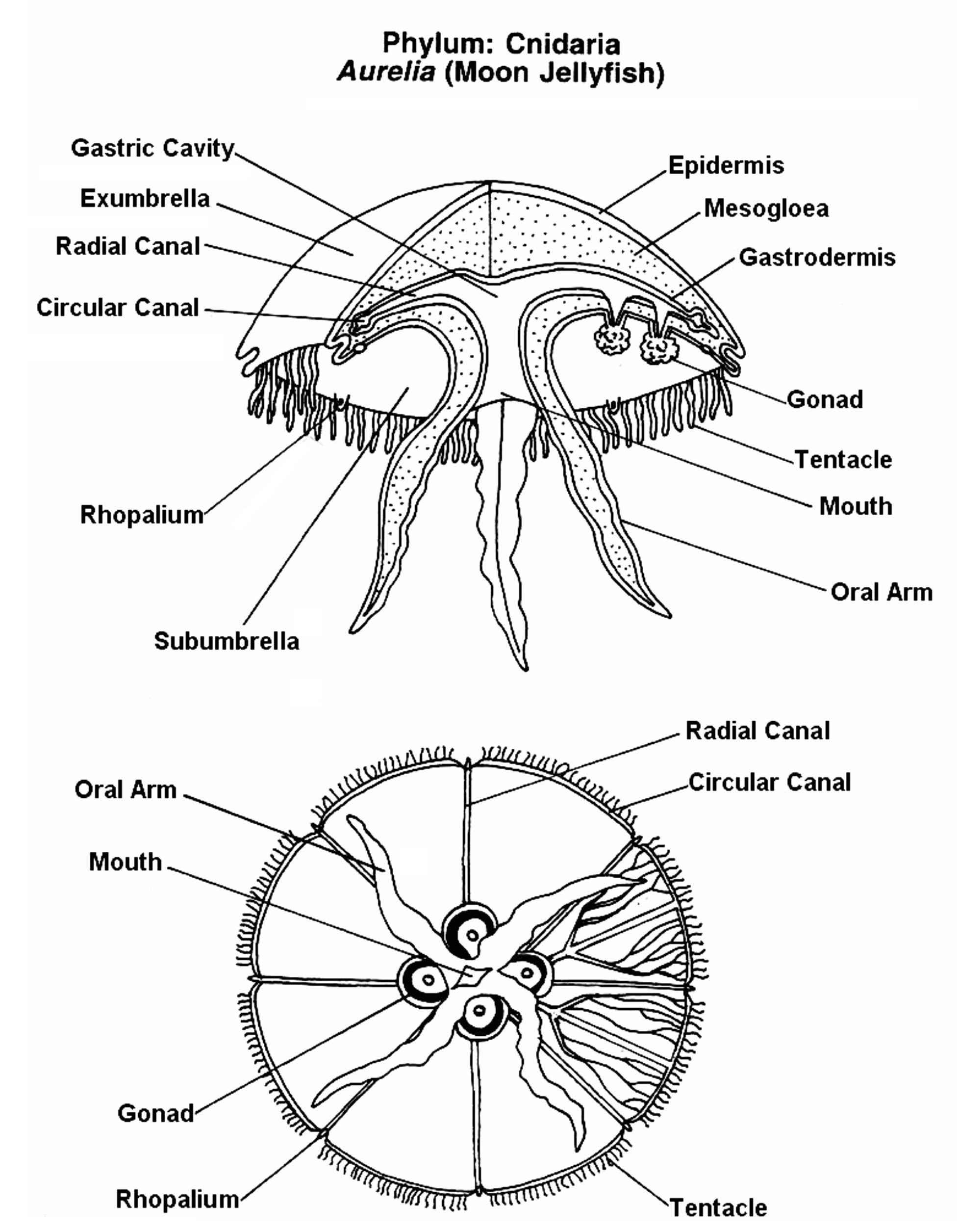 diagram of a crab