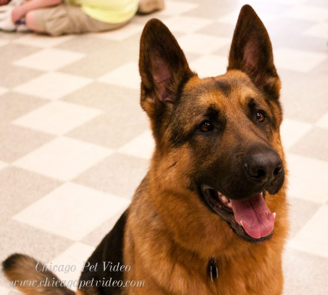 What A Good Looking Shepherd Chicago Pet Expo 2012 German Shepherd Dogs Shepherd Dog Dogs