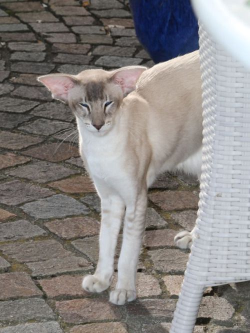 Zanzibar Of Blue Moon Blue Tabby Point Balinese Balinese Cat