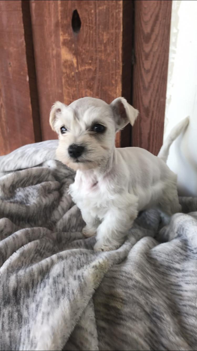 Sebastian a male Miniature Schnauzer puppy for sale in