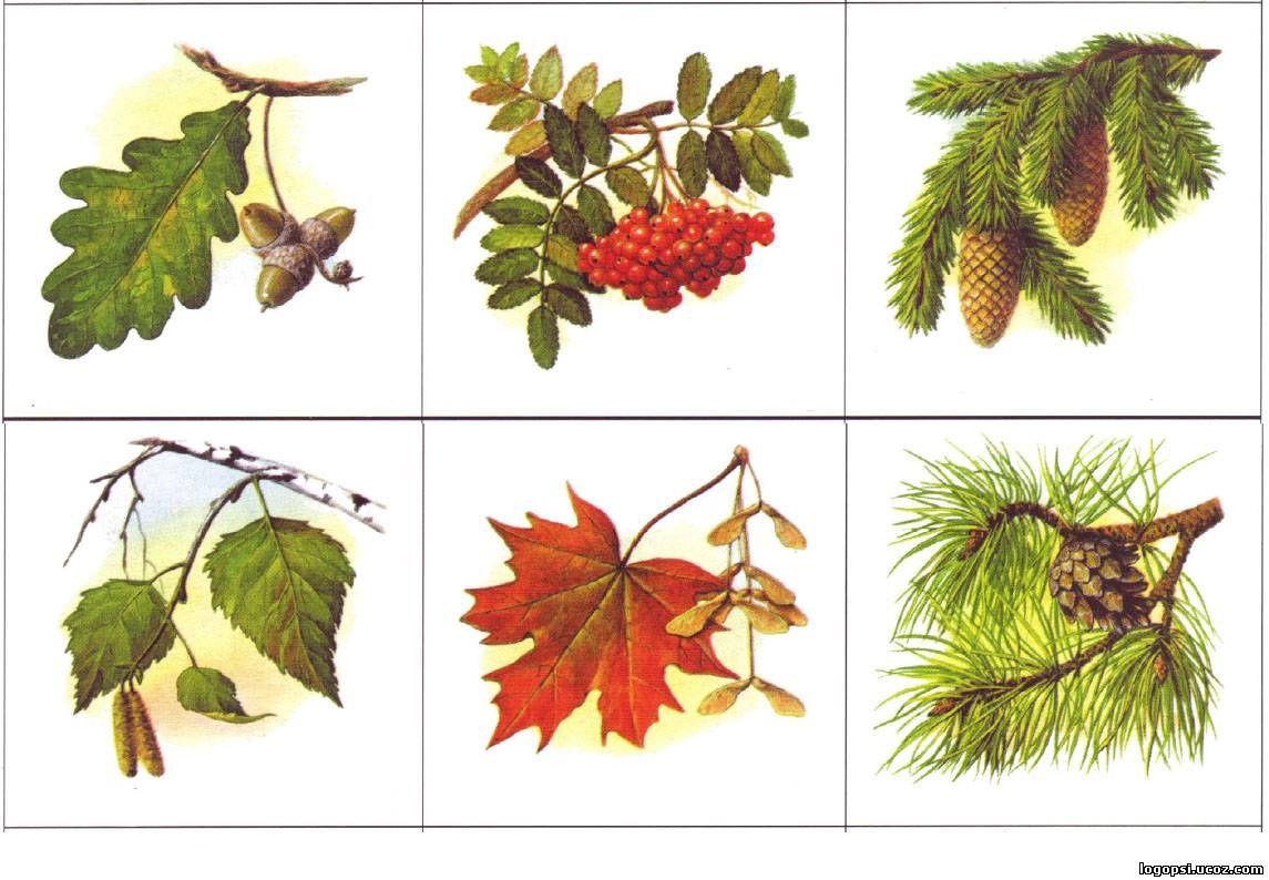 закрепляет знания деревья и их листья картинки и названия дидактических сибирская горница