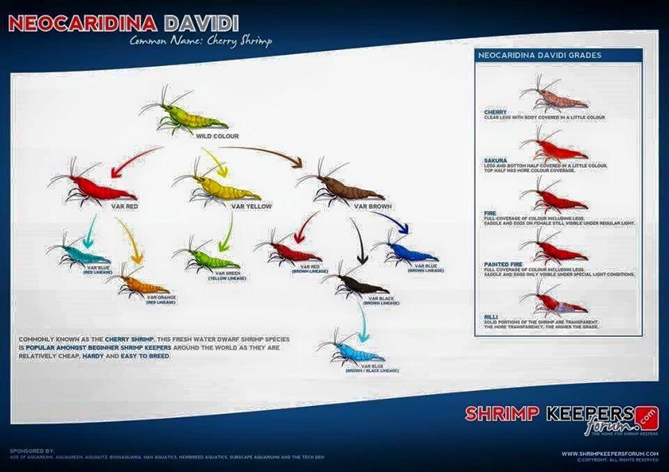 Simonsaquascapeblog Cherry Shrimp Aquascape Freshwater Aquarium Shrimp