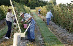 Blackberry Picking Easier With New Trellis System Trellis System Blackberry Picking Trellis