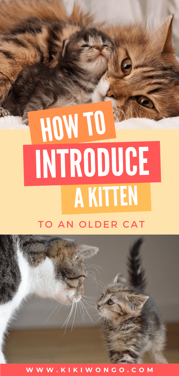 How To Introduce A Kitten To An Older Cat In 2020 Older Cats Introducing A New Cat How To Introduce Cats