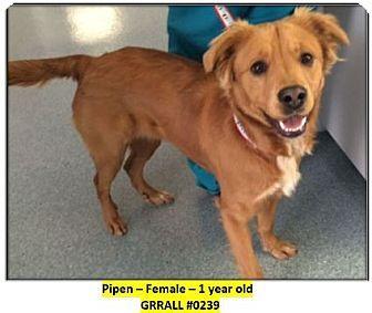 Fort Worth Tx Golden Retriever Mix Meet Pipen 0239 A Dog For