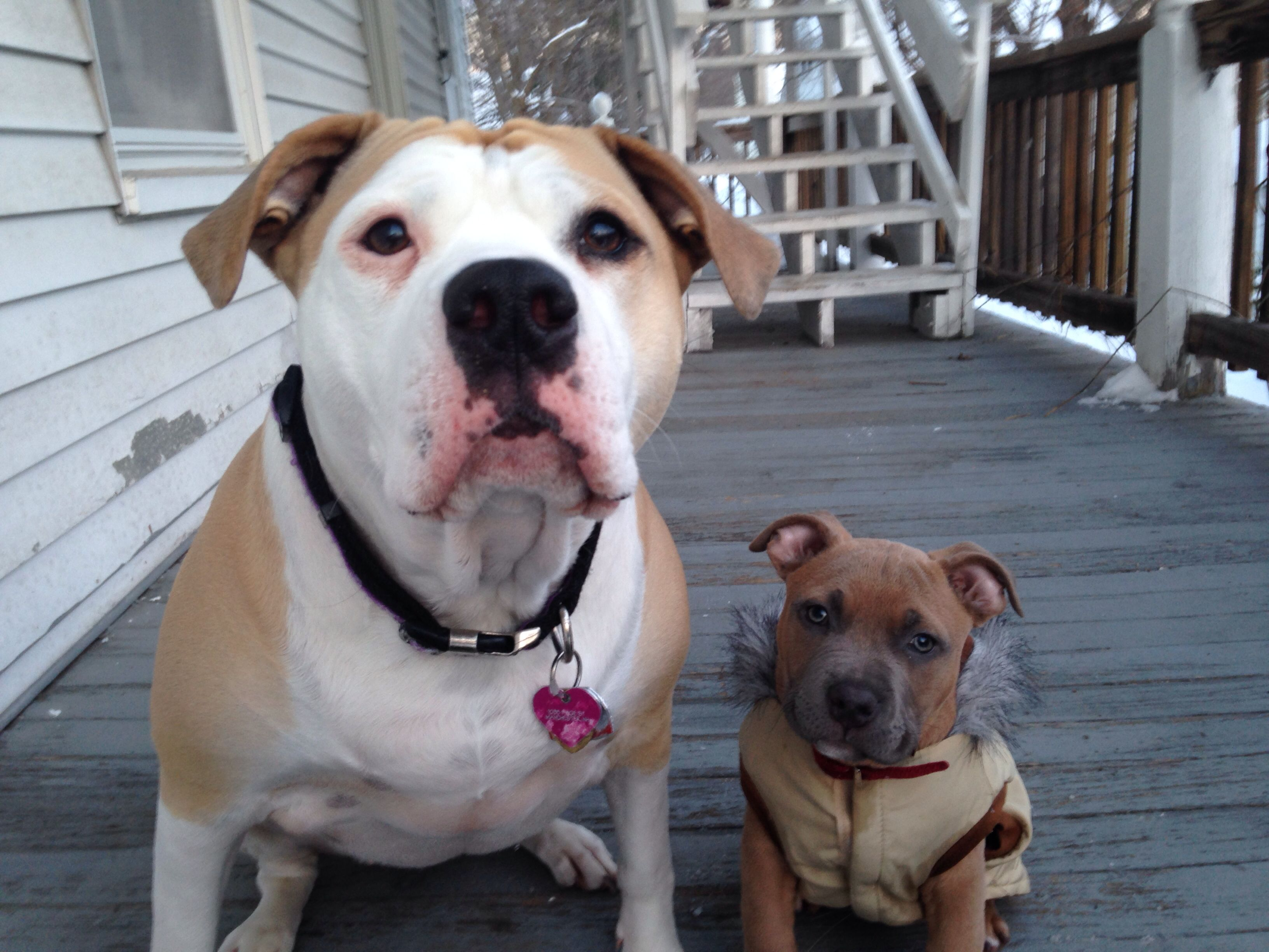 pitbull and bulldog best friends american bulldog and baby pitbull french 7891