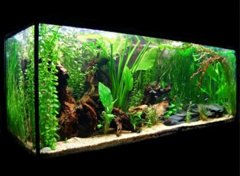 Pecera plantada aquarium acuario peceras y acuariofilia for Lista de peces tropicales para acuarios