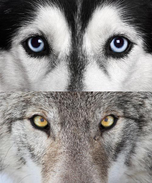 Dog Vs Wolf Eyes Cutepuppyeyesdrawing Puppy Dogs Wolf Eyes Wolf
