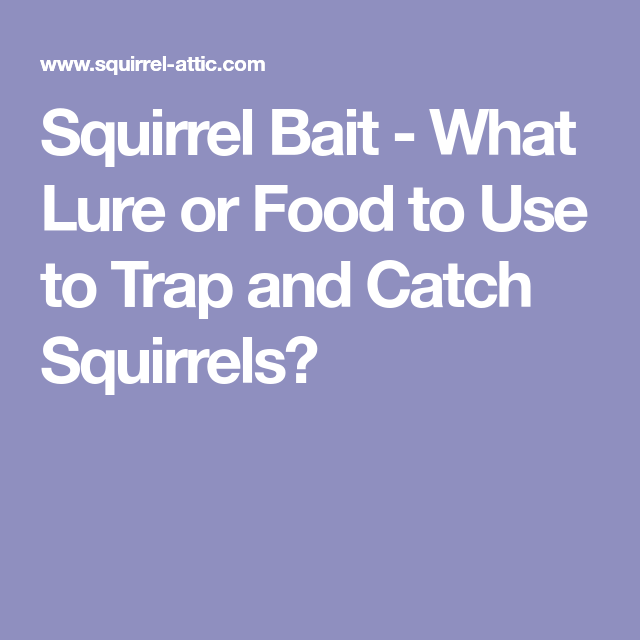 Squirrel Bait What Lure Or Food To Use To Trap And Catch Squirrels Bait Food Traps