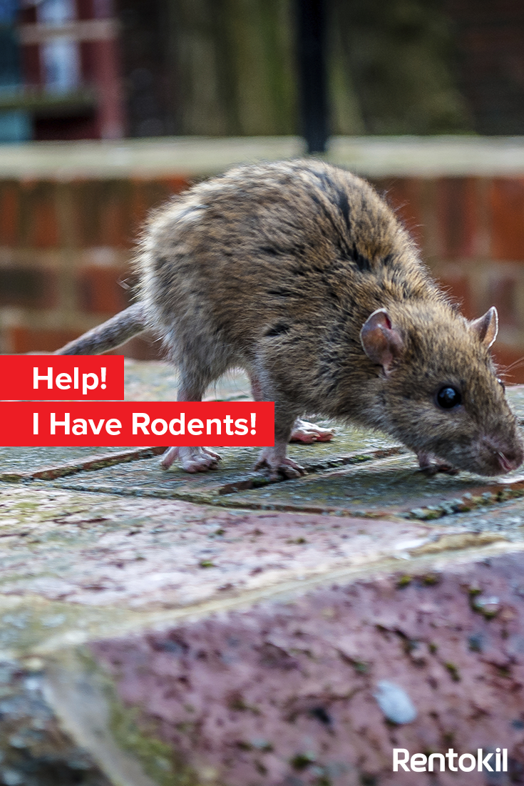 Although They Seem Pretty Harmless Rats And Mice Are Hosts To A Range Of Diseases Harmful To Humans Read More Rodents How To Protect Yourself How To Find Out