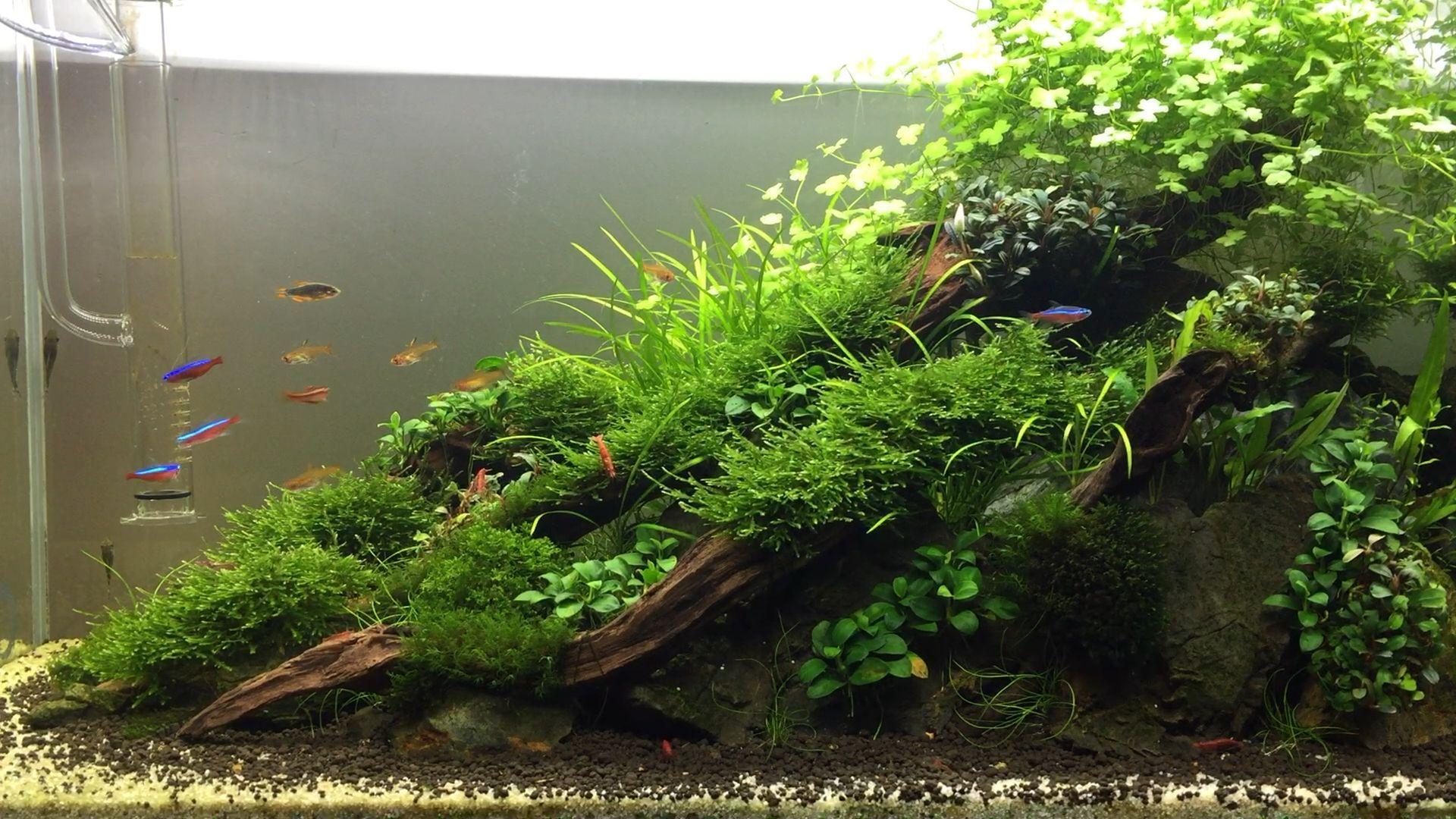 Planted Tank 60cm In 2020 Fresh Water Fish Tank Aquascape Design Aquarium Landscape